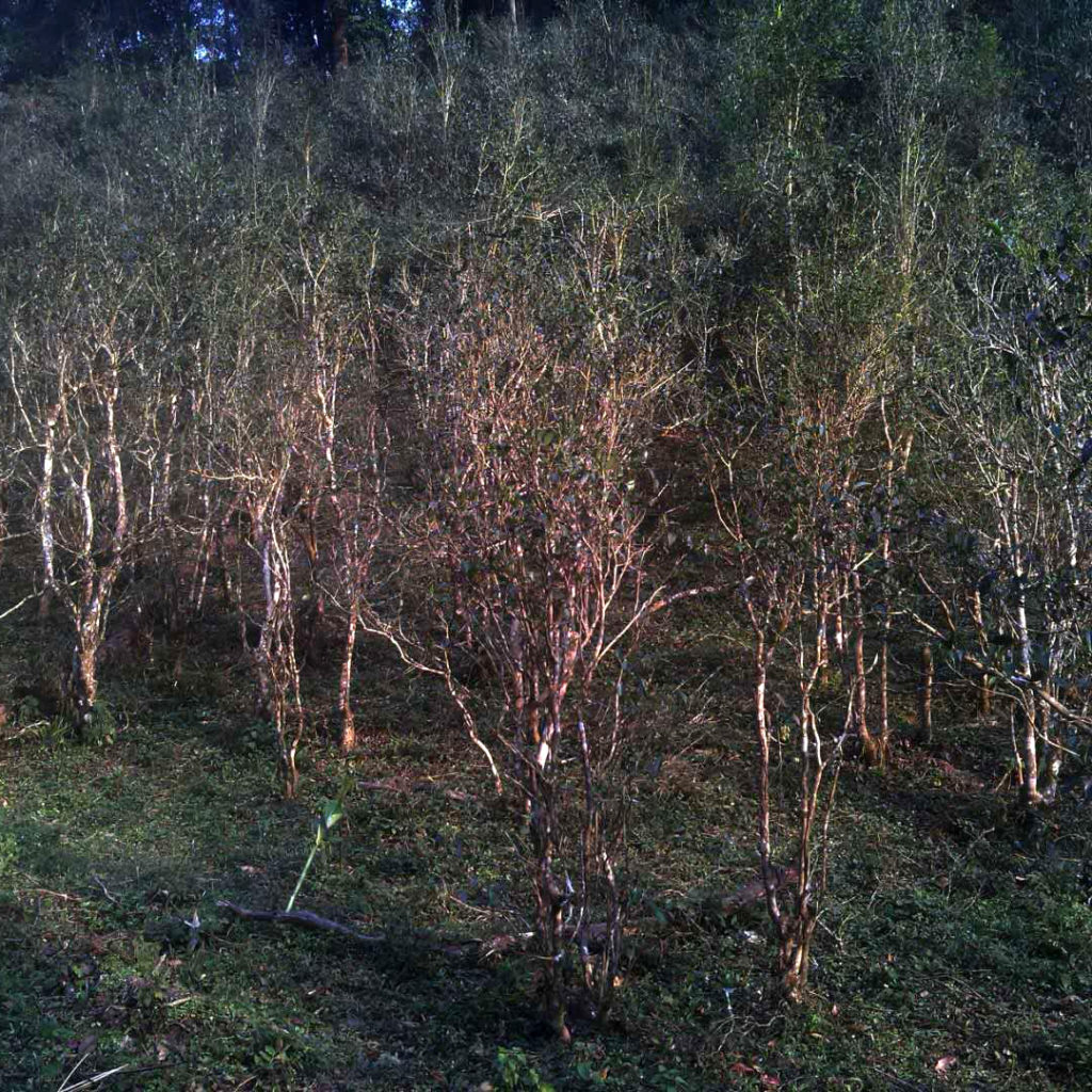 yibang gu shu tea forest
